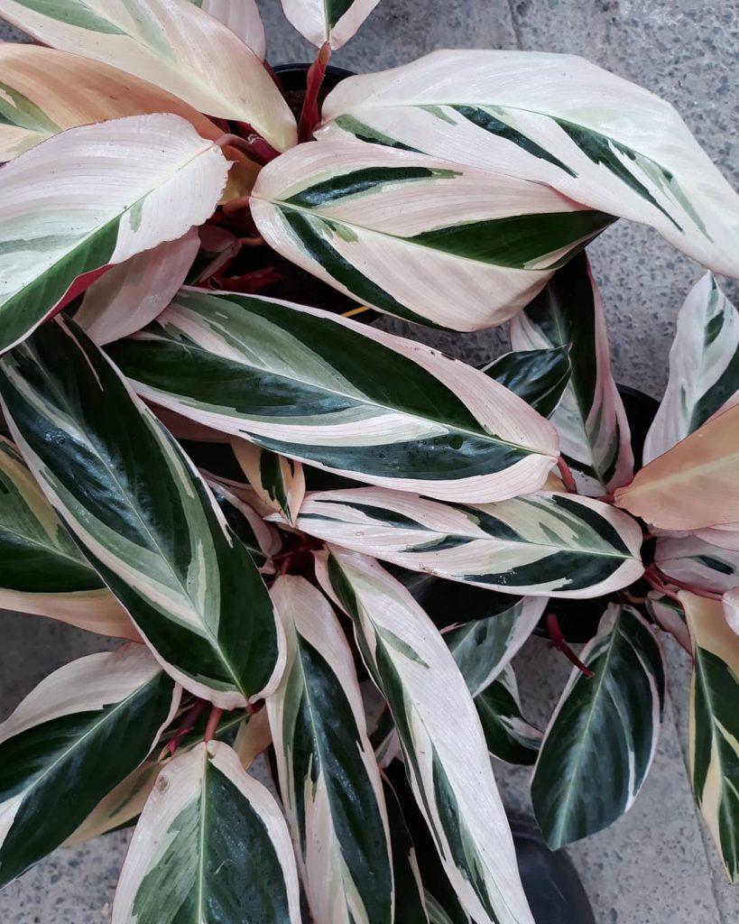 Maranta tricolor-ou-Calathea triostar