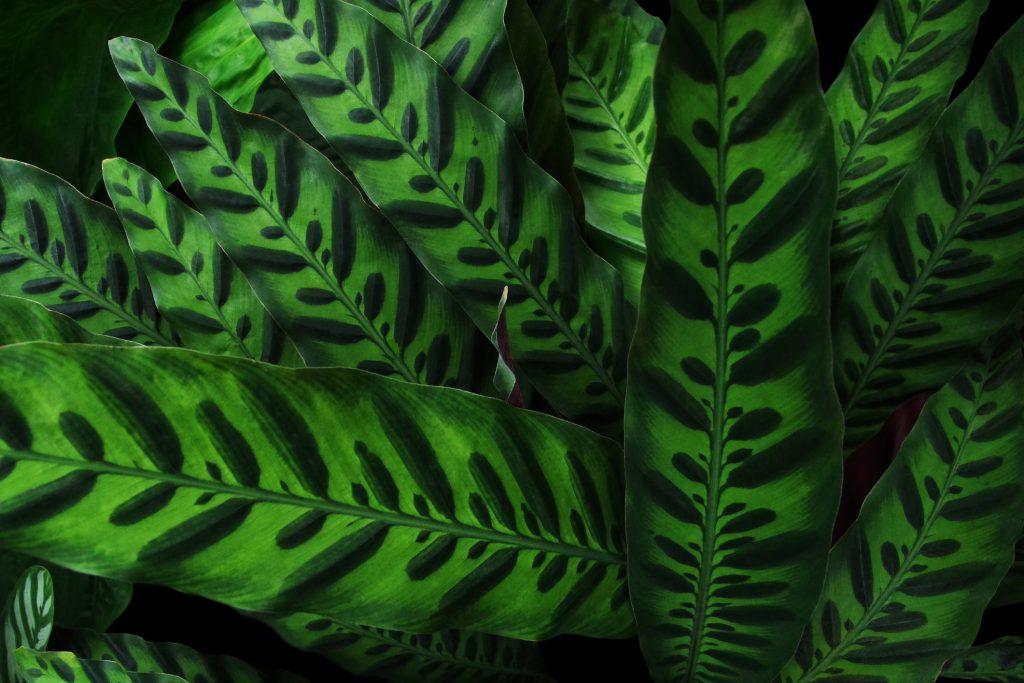 Maranta-cascavél-ou-Calathea-lancifolia