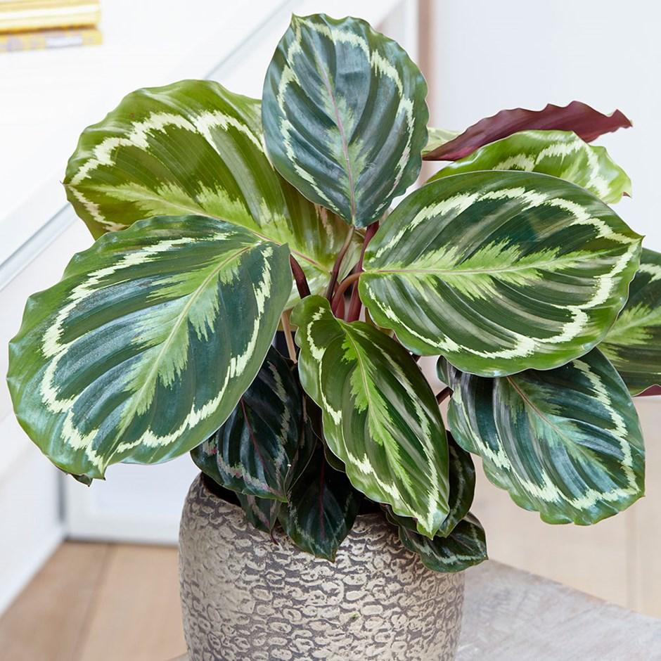 Calathea-veitchiana-planta-coliving